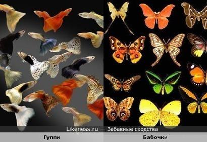Гуппи похожи на бабочек