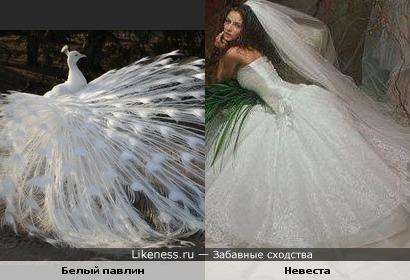 Белый павлин похож на невесту