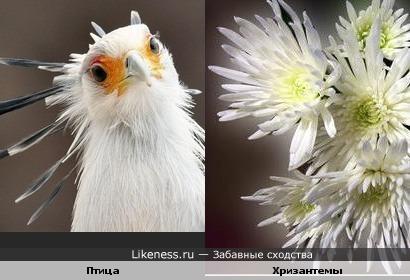Птичка похожа на хризантемы