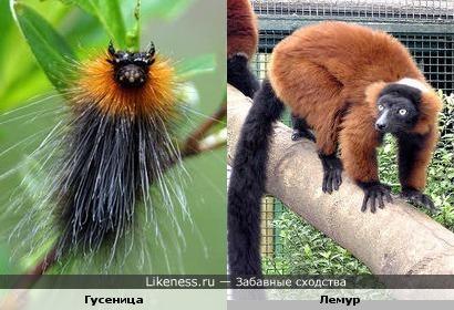 Гусеница похожа на лемура