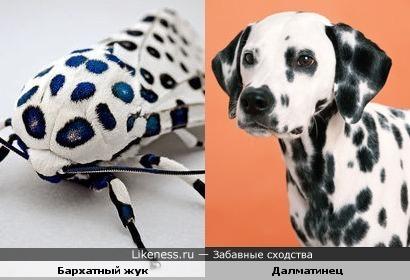 Бархатный жук похож на далматинца