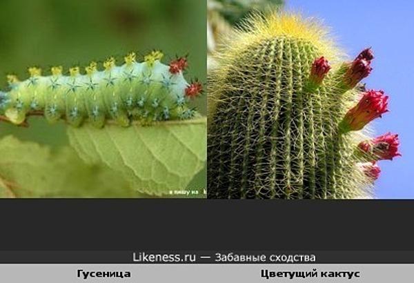Гусеница похожа на цветущий кактус