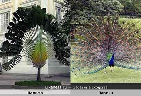 Пальма похожа на павлина