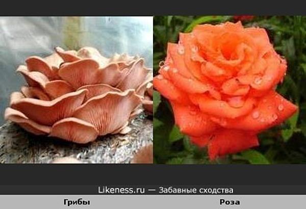 Грибы похожи на розу