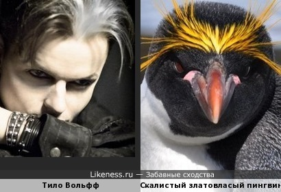 Тило Вольфф похож на скалистый златовласый пингвин