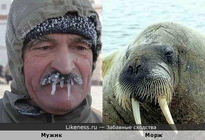 Обледенелый усач и морж