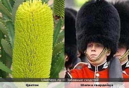 Цветок похож на шапку британского гвардейца