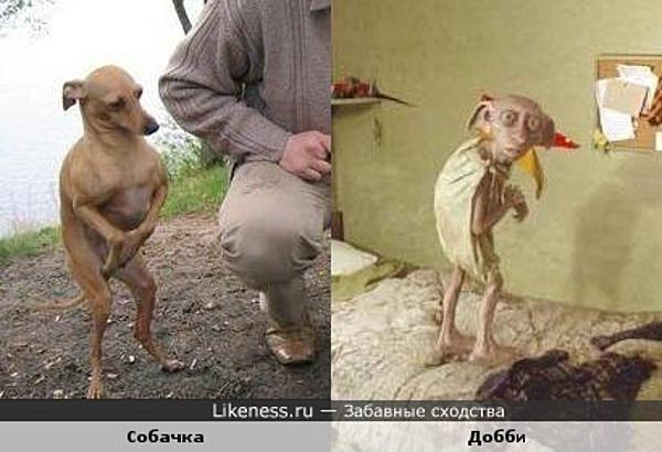 Собачка похожа на Добби