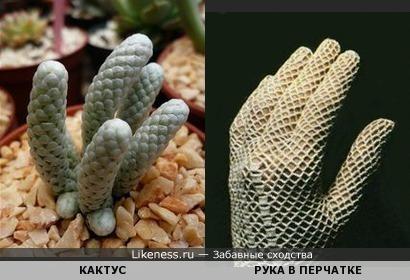 Кактус Avonia papyracea похож на руку в вязаной перчатке