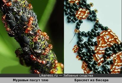 Красные муравьи и черная тля как стеклянные бусинки