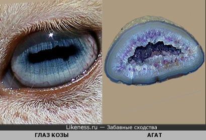 Глаз нигерийской карликовой козы похож на агатовую жеоду в разрезе