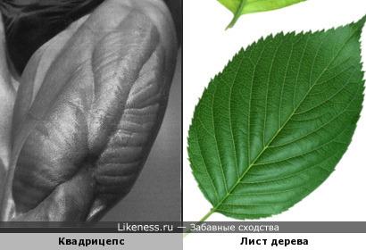 Квадрицепс билдера Томаса Мюнцера напоминает лист дерева