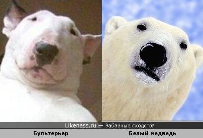 Бультерьер похож на белого медведя.