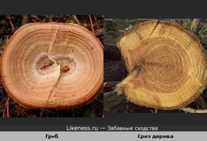 Гриб выглядит как срез дерева с годовыми кольцами