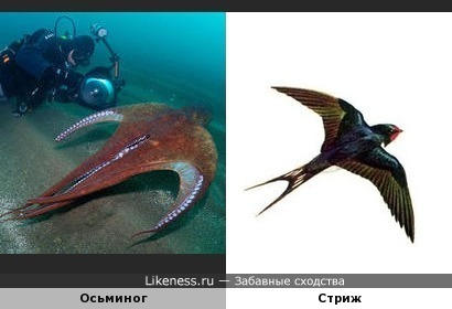 Плывущий осьминог напоминает птицу