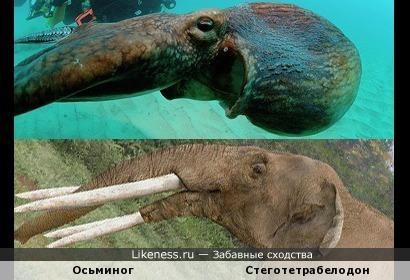 Осьминог похож на голову слона