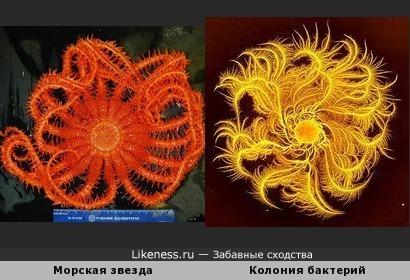 Колония бактерий похожа на морскую звезду