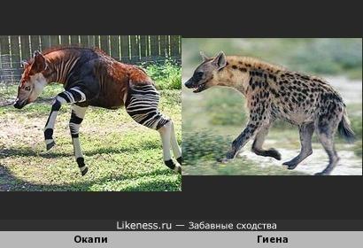 Силуэт редкого необычного животного Окапи отдаленно похож на Гиену (если бы не копыта)