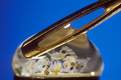 Планктон в капле морской воды, рядом с игольным ушком