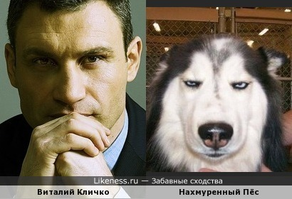 Виталий Кличко похож на нахмуренного пса