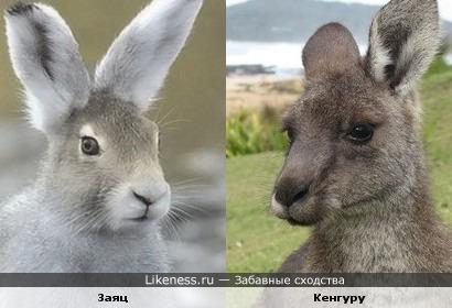 Заяц и кенгуру похожи