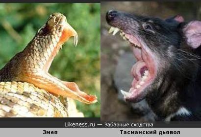 Змея и Тасманский дьявол