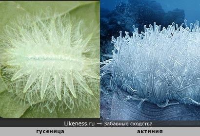 Гусеница похожа на актинию