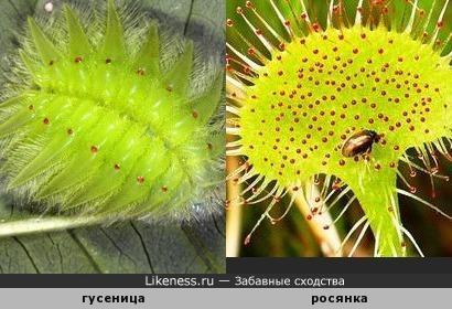 Гусеница похожа на росянку