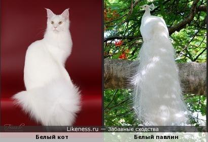 Белый кот с шикарным хвостом похож на белого павлина