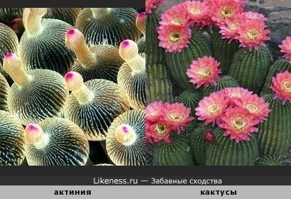 Пузырчатая актиния напоминает зацветающие кактусы