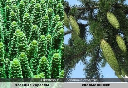Зеленые кораллы похожи на еловые шишки