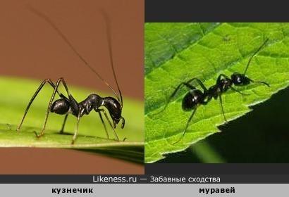 Чудеса маскировки ) Кузнечик макроксифус и муравей