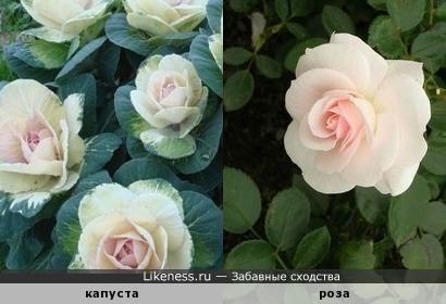 Соцветия декоративной капусты похожи на розы