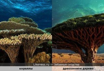 Кораллы похожи на драконовое дерево