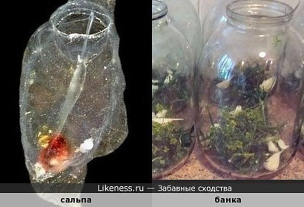 Сальпа похожа на пустую банку для заготовок, в которой уже лежит помидорка и пара долек чеснока )