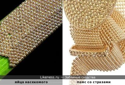 Травинка с яйцами насекомого похожа на золотистый пояс со стразами