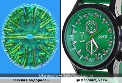 Зеленая водоросль напоминает циферблат
