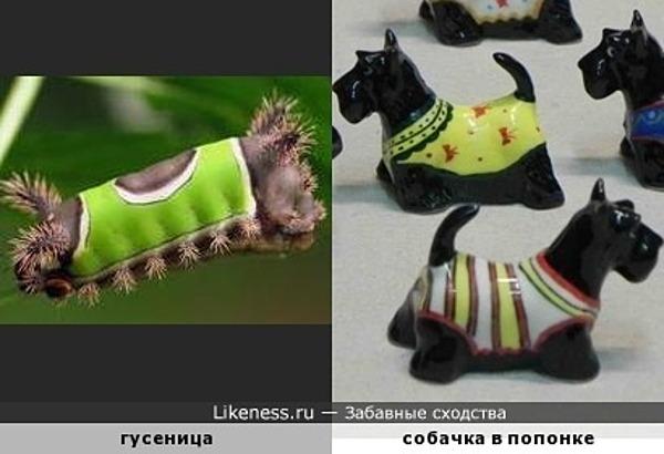 Гусеница похожа на собачку в попонке
