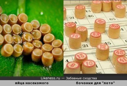 """Поиграем ) Яйца насекомого похожи на бочонки для игры """"лото"""""""