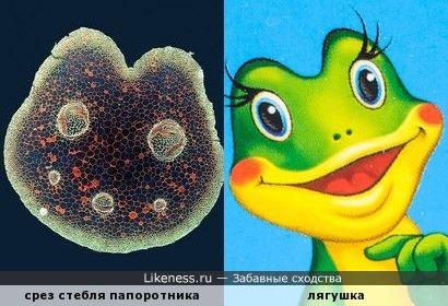 Стебель папоротника на срезе напоминает лягушку из мультфильма