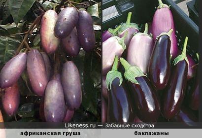Плоды дерева Африканская груша похожи на баклажаны