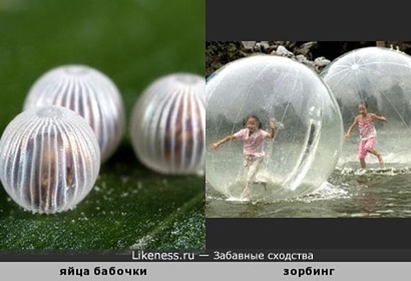 Яйца бабочки и зорбинг )