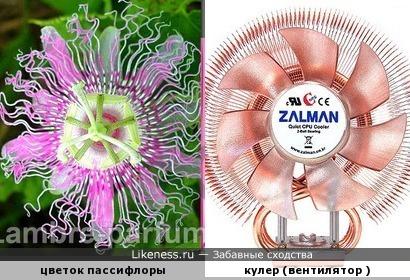 Цветок пассифлоры похож на кулер для компьютера