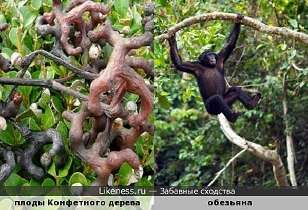Плоды Конфетного дерева напоминают обезьянок, прыгающих по веткам