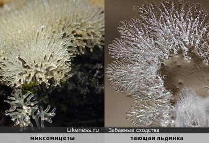 Миксомицеты похожи на тающую льдинку