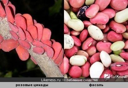 Розовые цикады похожи на фасоль
