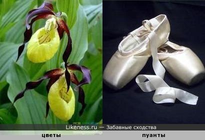 Цветы похожи на пуанты балерины