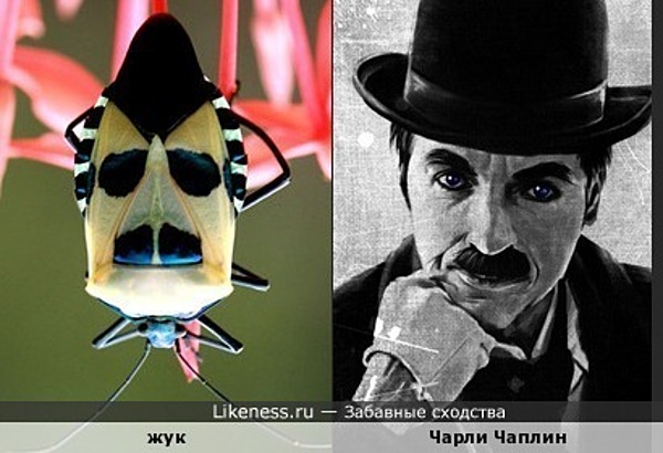 Жук похож на Чарли Чаплина
