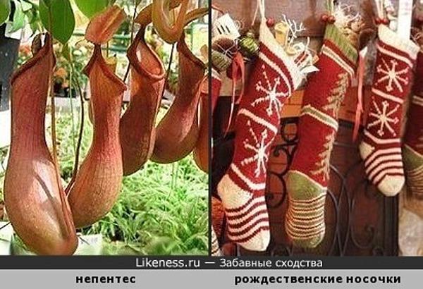 Растения-хищники Непентес напоминают рождественские носочки