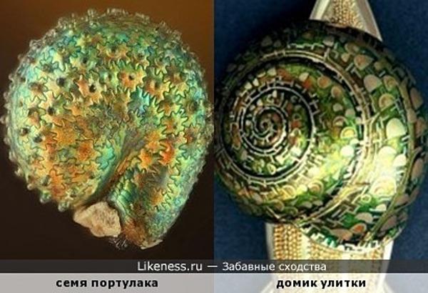 Семя портулака напоминает домик улитки